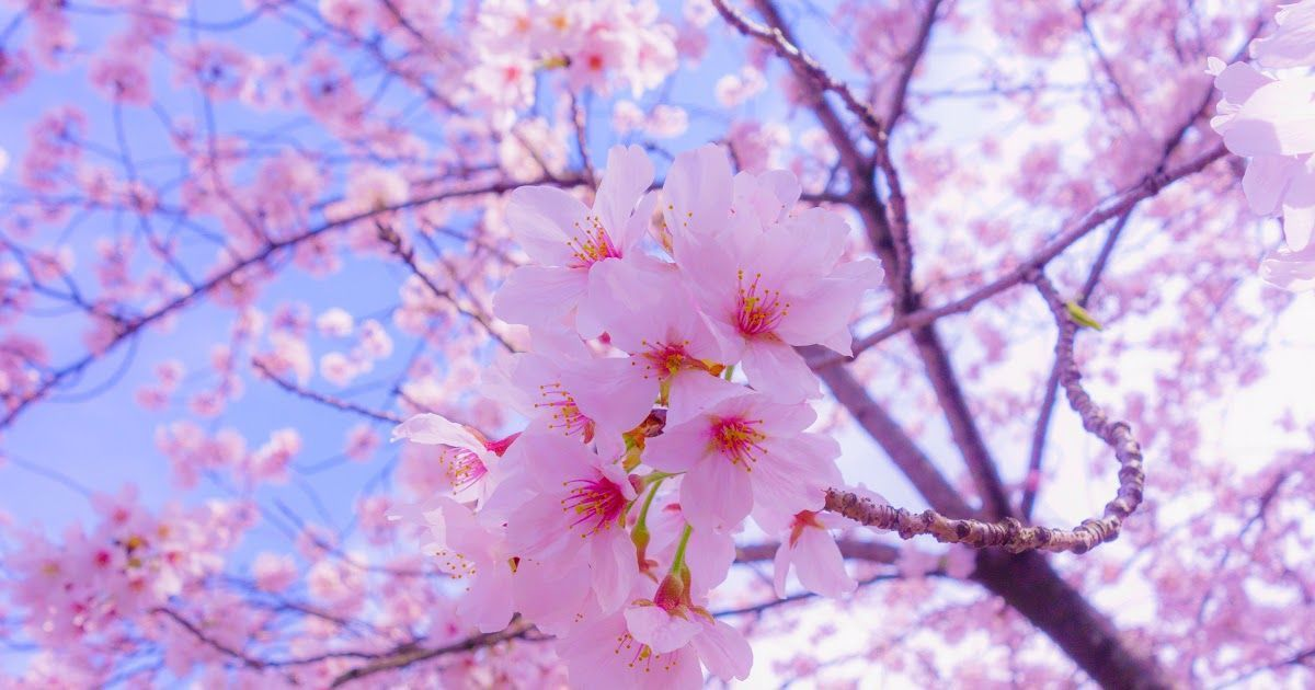 12 Sakura Flower Wallpaper Anime Sakura Tree Wallpaper 4k Dark Siboneycubancuisine Com Saku In 2020 Sakura Flower Flower Images Wallpapers Cherry Blossom Background
