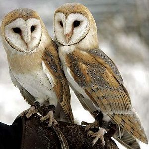 Interesting Barn Owl facts for kids and adults. We showcase the ...