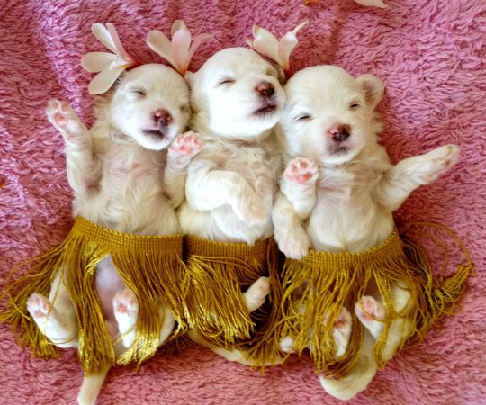Maltese Puppies I Found On Craigslist This Morning Adorable