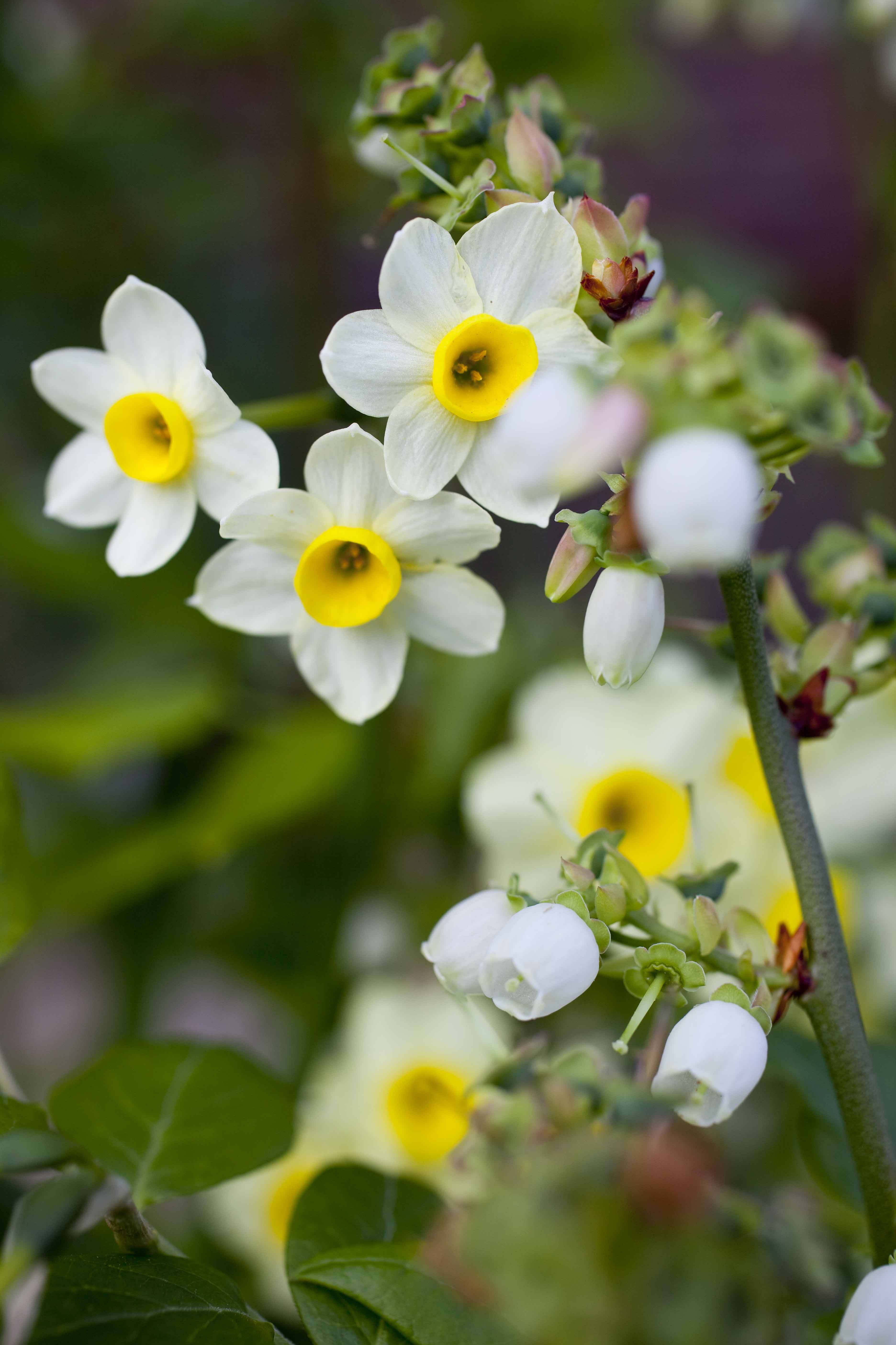 Narcissus Minnow Pinterest Daffodils Flower And Gardens