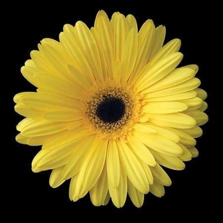 Yellow Gerbera Daisy   Daisies/Flowers   Pinterest   Gerbera and Flowers