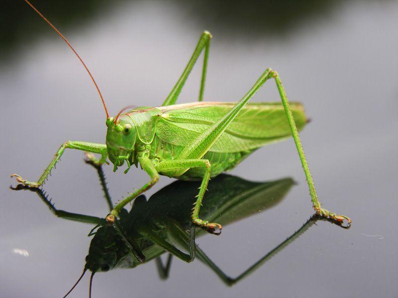 saltamontes | animalitos | Pinterest | Saltamontes, Insectos y Gusanito