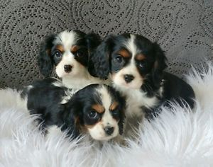 Cavalier King Charles Spaniel Puppies Ready Now City Of Toronto