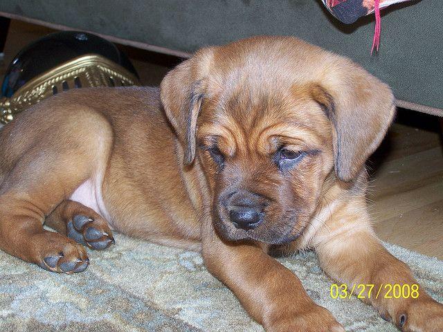 La Roux The Dogue De Bordeaux French Mastiff Rottweiler Mix