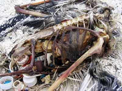 Bottle caps and other plastic objects are visible inside the decomposed carcass of this Laysan albatross on Kure Atoll, which lies in a remote and virtually uninhabited region of the North Pacific. The bird probably mistook the plastics for food and ingested them while foraging for prey