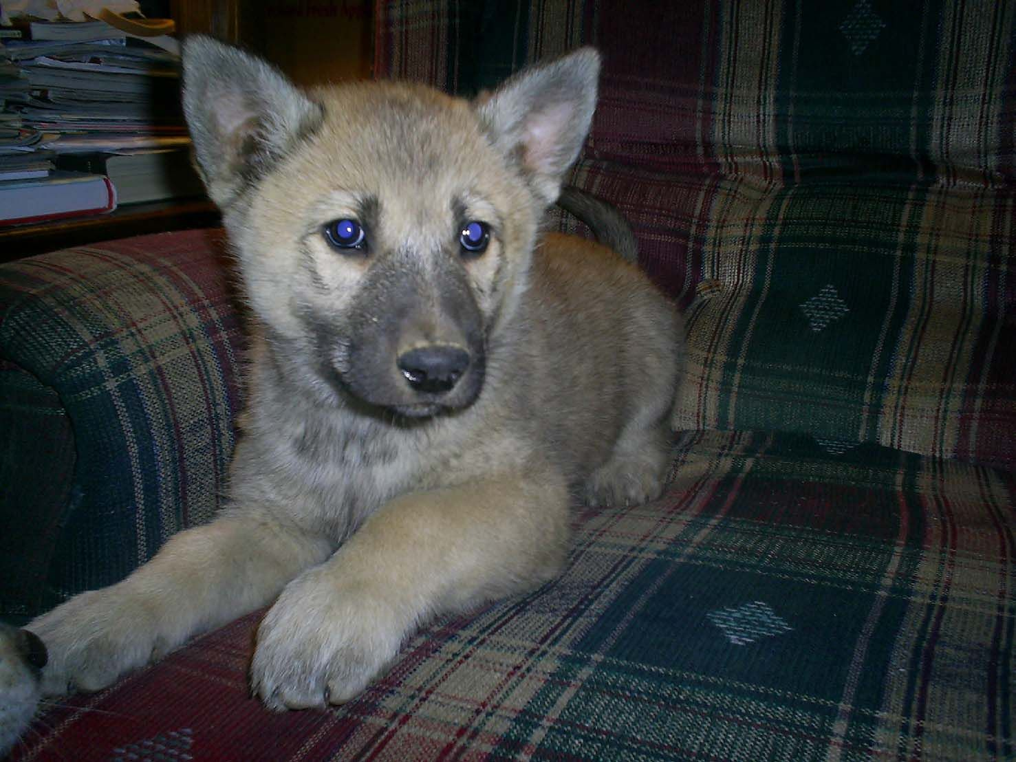 Husky puppies for adoption in california - Wolf Husky Pups In California Laurel Mountain Wolf Hybrid Puppies