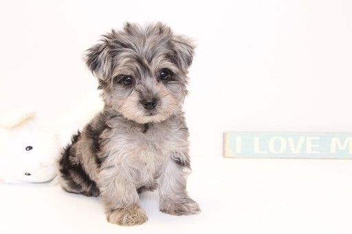 Yorkie Poo Puppy For Sale In Naples Fl Adn 32900 On Puppyfinder