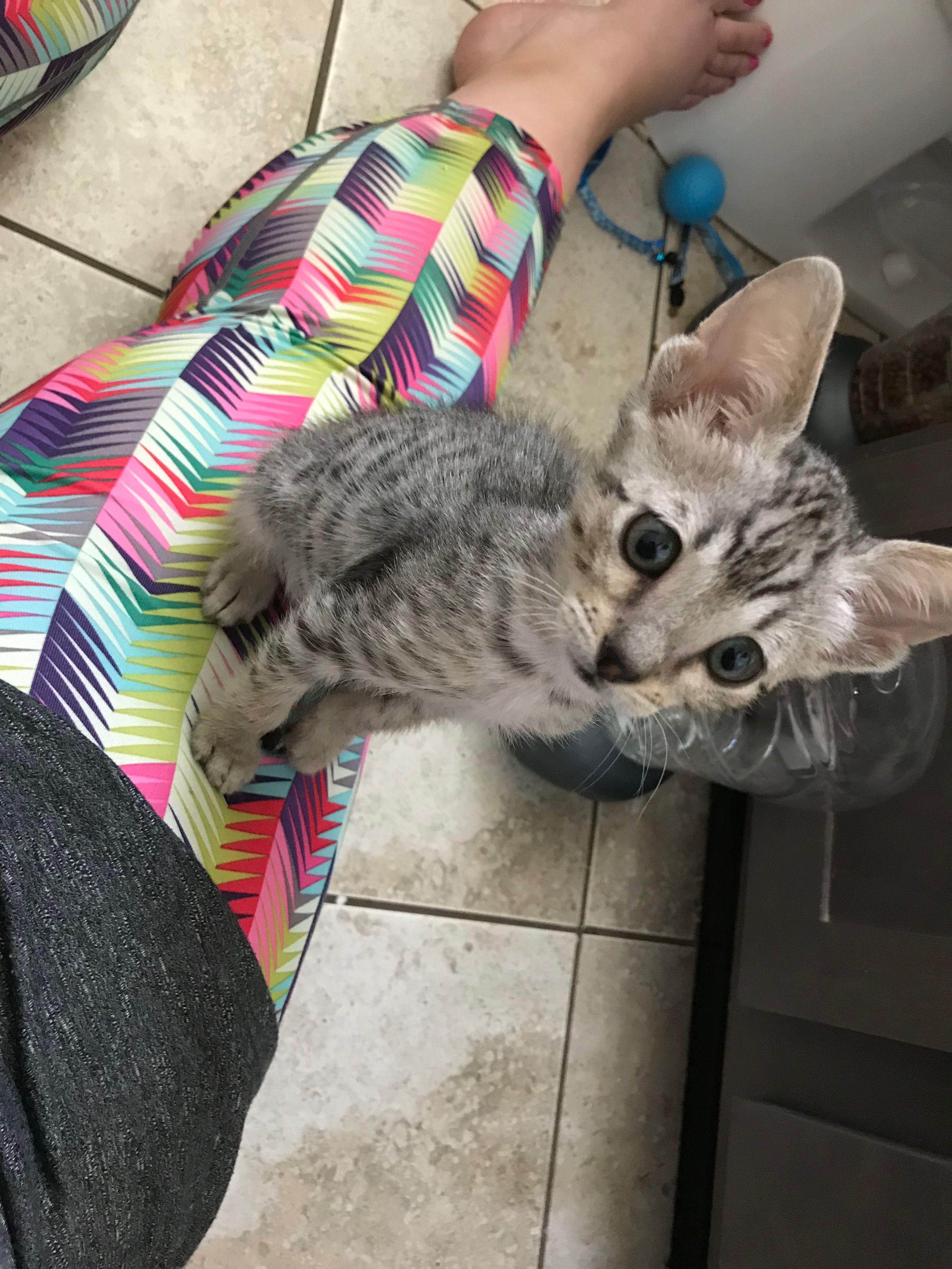 Storm, My baby Savannah cat. Cats, Savannah cat