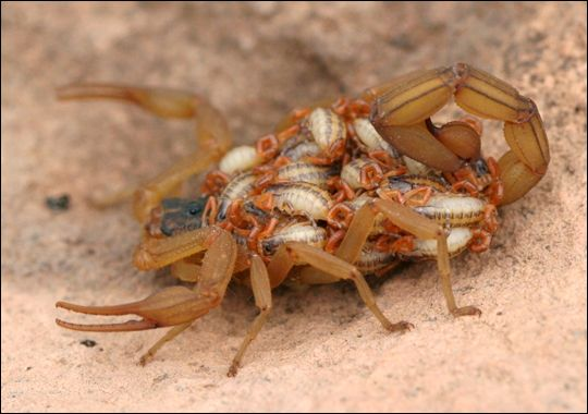 The only thing more disgusting than a scorpion is a scorpion