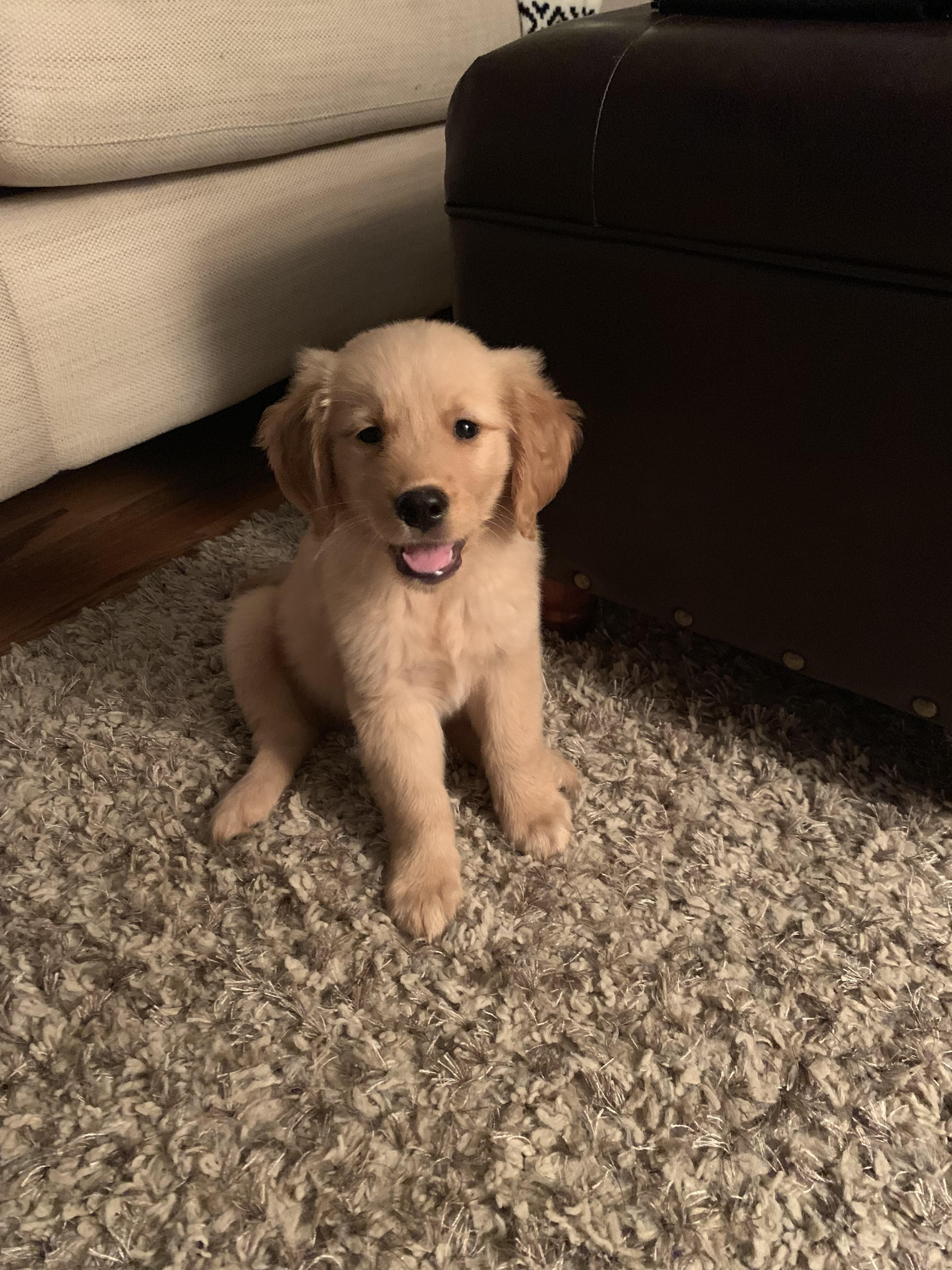 Somebody S Enjoying His First Week At Home Goldenretriever