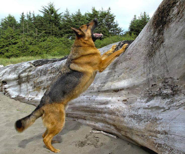 Pin By Big Barker Dog Beds On German Shepherds German Shepherd Dogs German Shepherd Breeds German Shepherd Owner