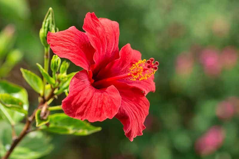 37 Of The Best Hibiscus Varieties Gardener S Path In 2020 Growing Hibiscus Hibiscus Plant Hibiscus