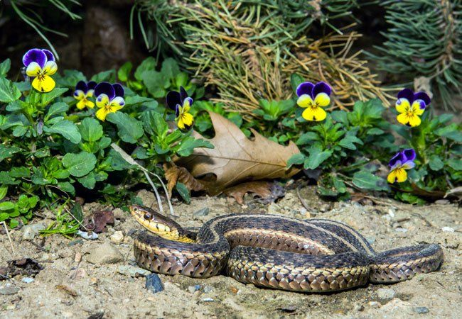 How To Get Rid Of Snakes Snake Rid How To Get Rid