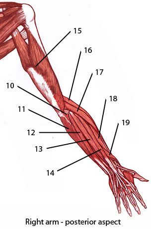 Free anatomy quiz, upper arm muscles from the back. Can you name ...