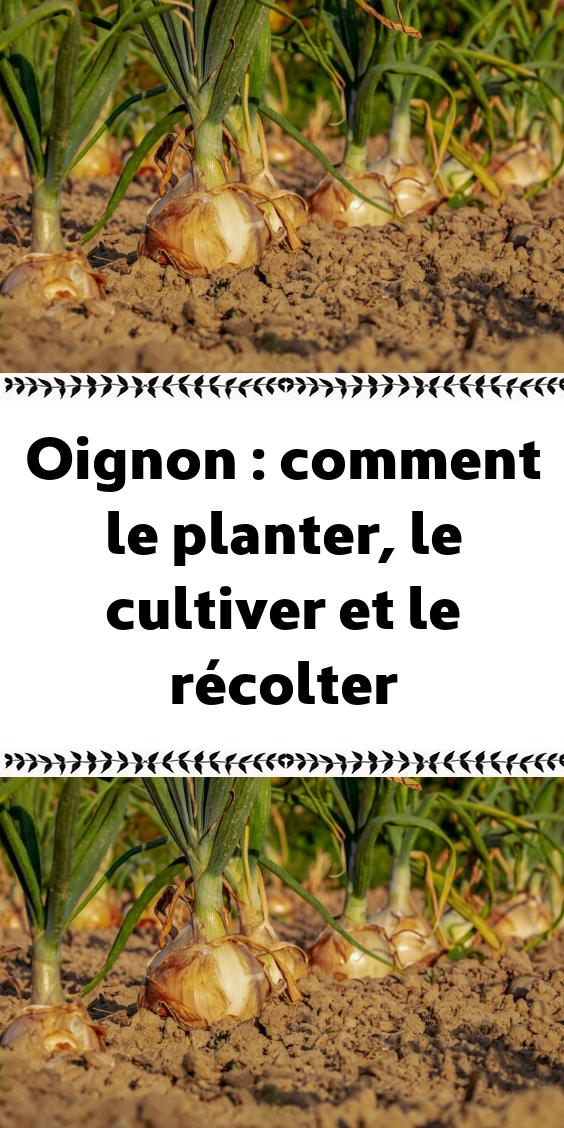 Oignon : comment le planter, le cultiver et le récolter ...
