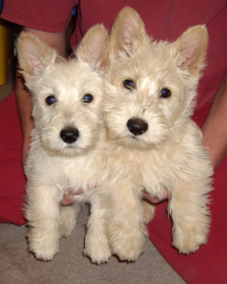 Adorable Wheaten Scottish Terrier Puppies