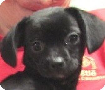Germantown Md Chihuahua Pug Mix Meet Chica A Puppy For