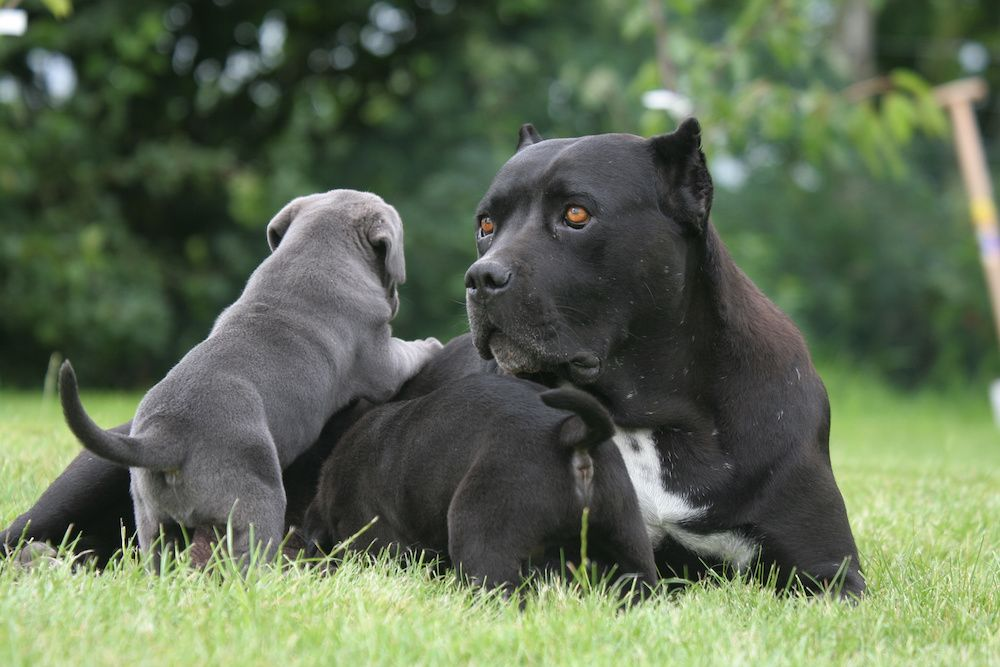 According To Popular Thought Yellow Eyes In The Cane Corso Aren T Just More Intimidating They Supposedly Give T Cane Corso Puppies Cane Corso Cane Corso Dog