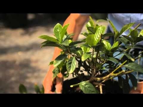 Guide To Pruning A Gardenia Bush Garden Savvy Youtube With