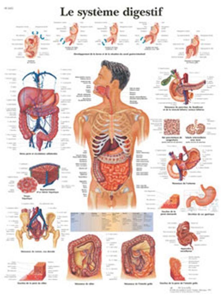 Poster Systeme Digestif   Biologie Humaine   Pinterest