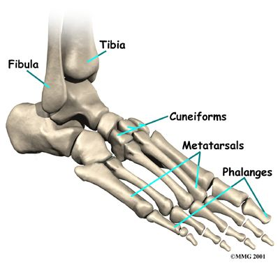 bones joints | The tarsal bones are connected to the five long bones ...