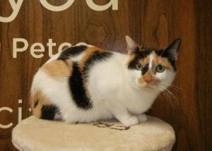 Adopt Justine Fiat On Petfinder American Shorthair Cat Cat