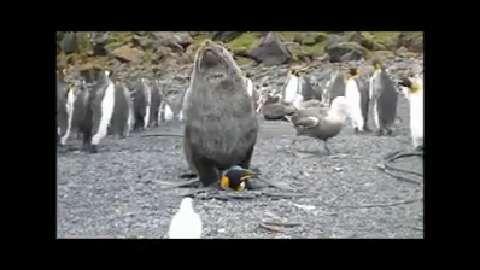 La revue Polar Biology rapporte des cas d'agressions sexuelles de manchot royal par des otaries à fourrure Antartique (Otarie de Kerguelen) sur l'Île Marion, entre Afrique et Antarctique. Les chercheurs peinent à expliquer cette attitude répétée.