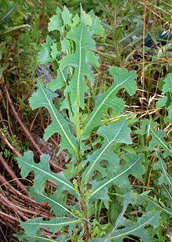 Edible Weeds - Lactuca serriola - Prickly Lettuce