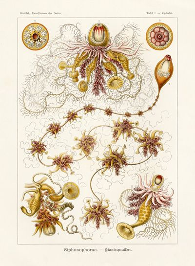 Haeckel Prints from Kunstformen der Natur 1899-1904