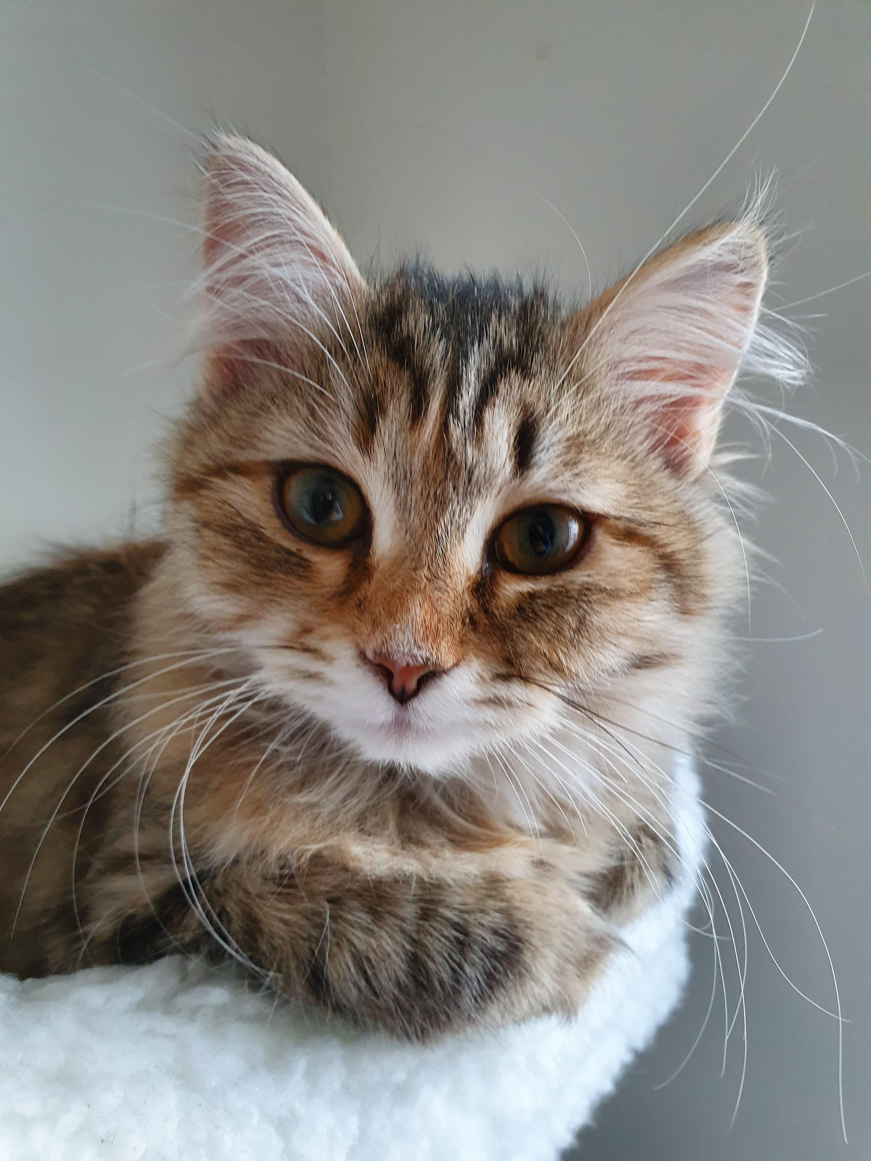 Say Hello To Kiara She S A Wise Little Kitten Who Loves To Cuddle And Starts Purring When You Look At Herht In 2020 Little Kittens Dog Cat Pictures Cute Animal Videos