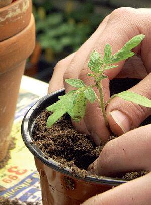 Kurkun taimi Kurkun taimet ovat hentorakenteisia, eivätkä ne kestä hyvin koulimista. Tukevissa maitopurkeissa niillä on tarpeeksi tilaa. 1. Miksi taimet kannattaa kasvattaa siemenestä asti itse? Kasvun ihmettä on hauska seurata. Jotkut hyötykasvit ja kesäkukat pitää esikasvattaa keväällä, koska muuten ne eivät ehdi meidän oloissamme kukkia tai tuottaa satoa kesän aikana. Itse kasvattamalla voi myös hankkia …
