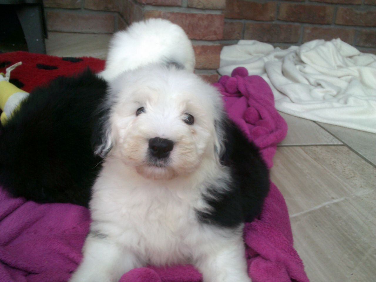 Old English Sheepdog Puppies For Sale Uk 2021