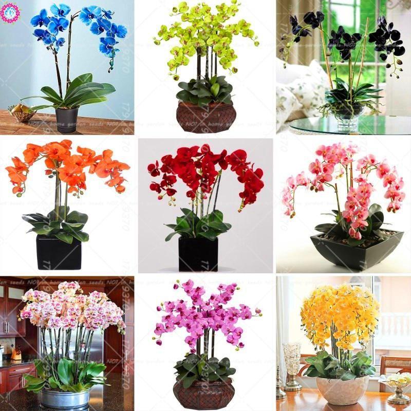 100pcs Bule Orchid Mix Colors Phalaenopsis Orchid Flower Orchid Pot Plants Decorative Us 0 30 Orchid Pot Bonsai Flower Phalaenopsis Orchid