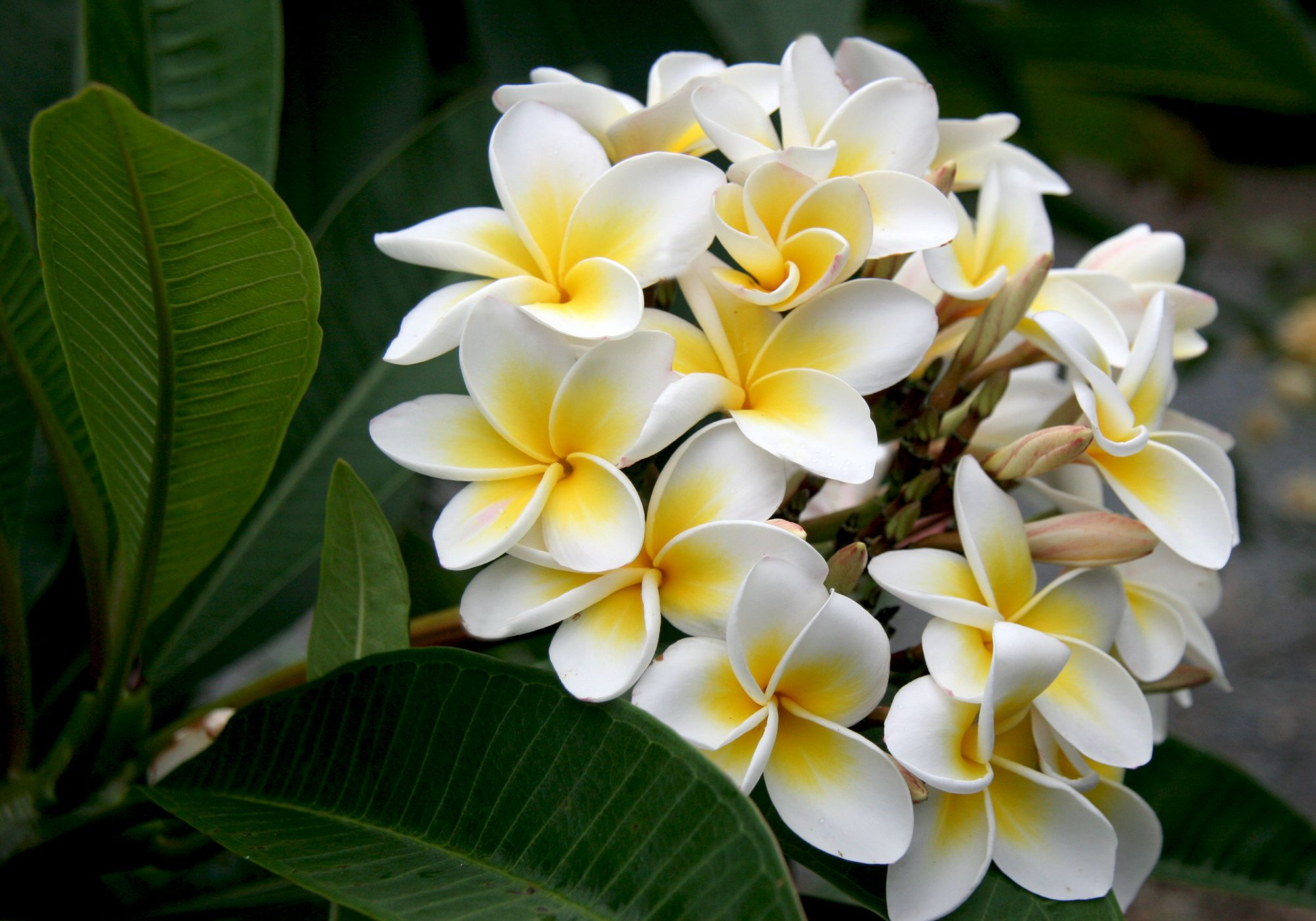Flowers Photo White Plumeria Flores Exoticas Mejores Flores Flores Raras