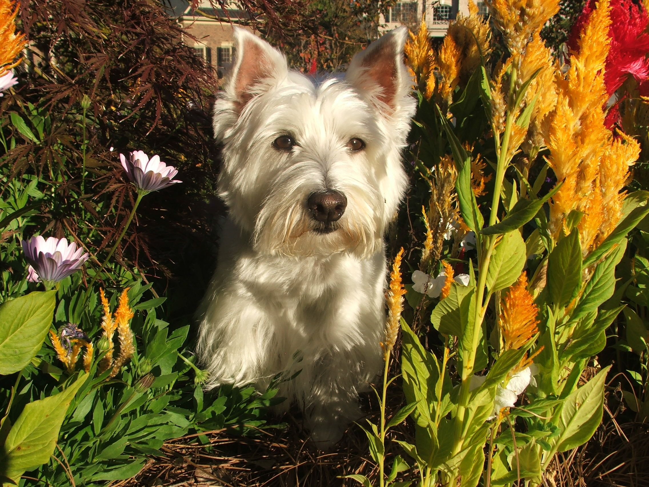 Sam. My favorite westie model! | Westies, Norwich terrier ...