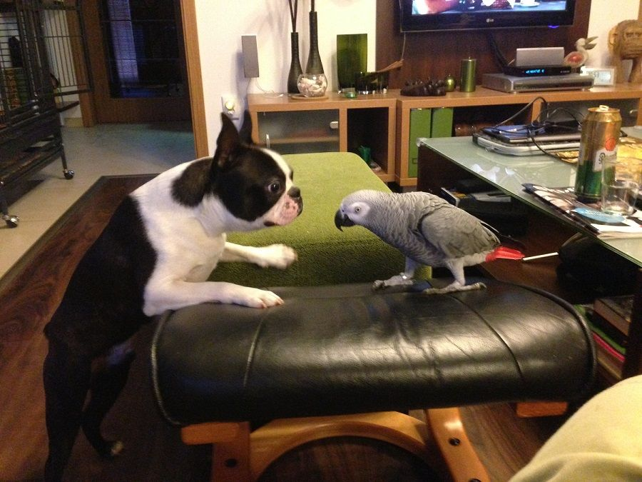 African Grey Parrot and Boston Terrier are best friends from Slovakia