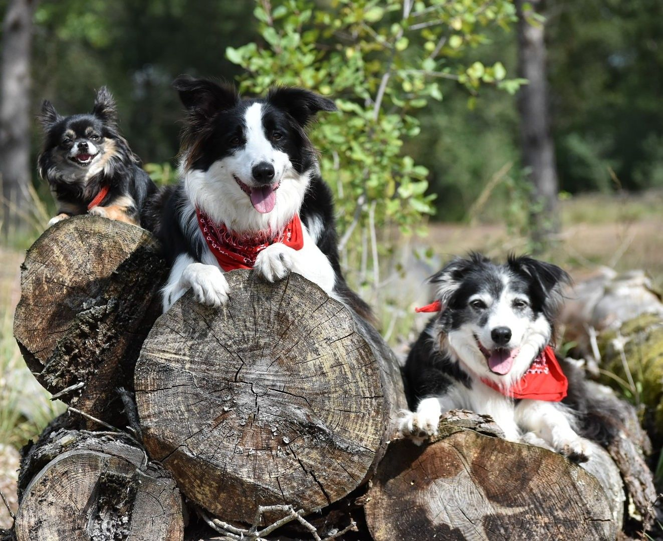 The Three Musketeers Border Collie Collie Dogs