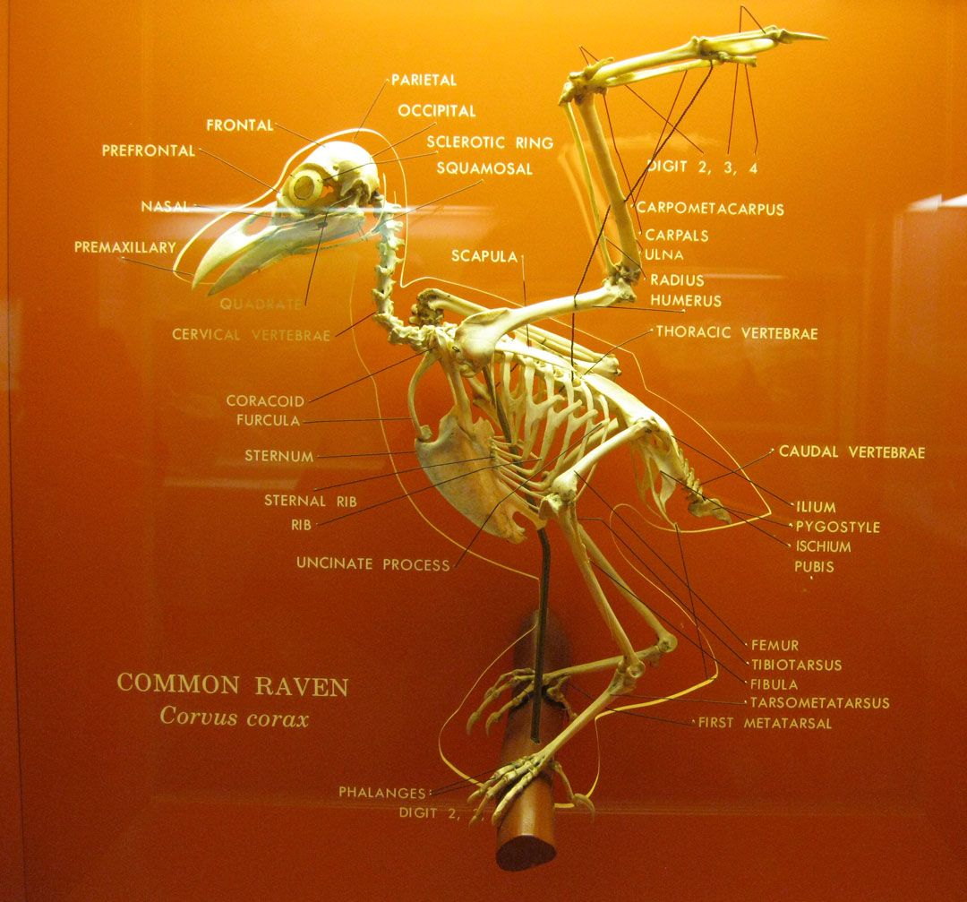 corvus corax from Smithsonian | Corvidae | Pinterest | Vogelkunde