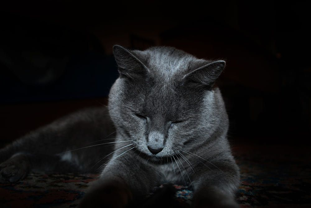 Sasha Blue Cat By Sergiu Parsoaga On 500px Russian Blue Cat Russian Blue Blue Cats