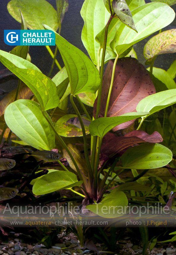Echinodorus Indian Red