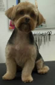 Image Result For Yorkie Poo Haircut Yorkie Poo Yorkie Yorkie