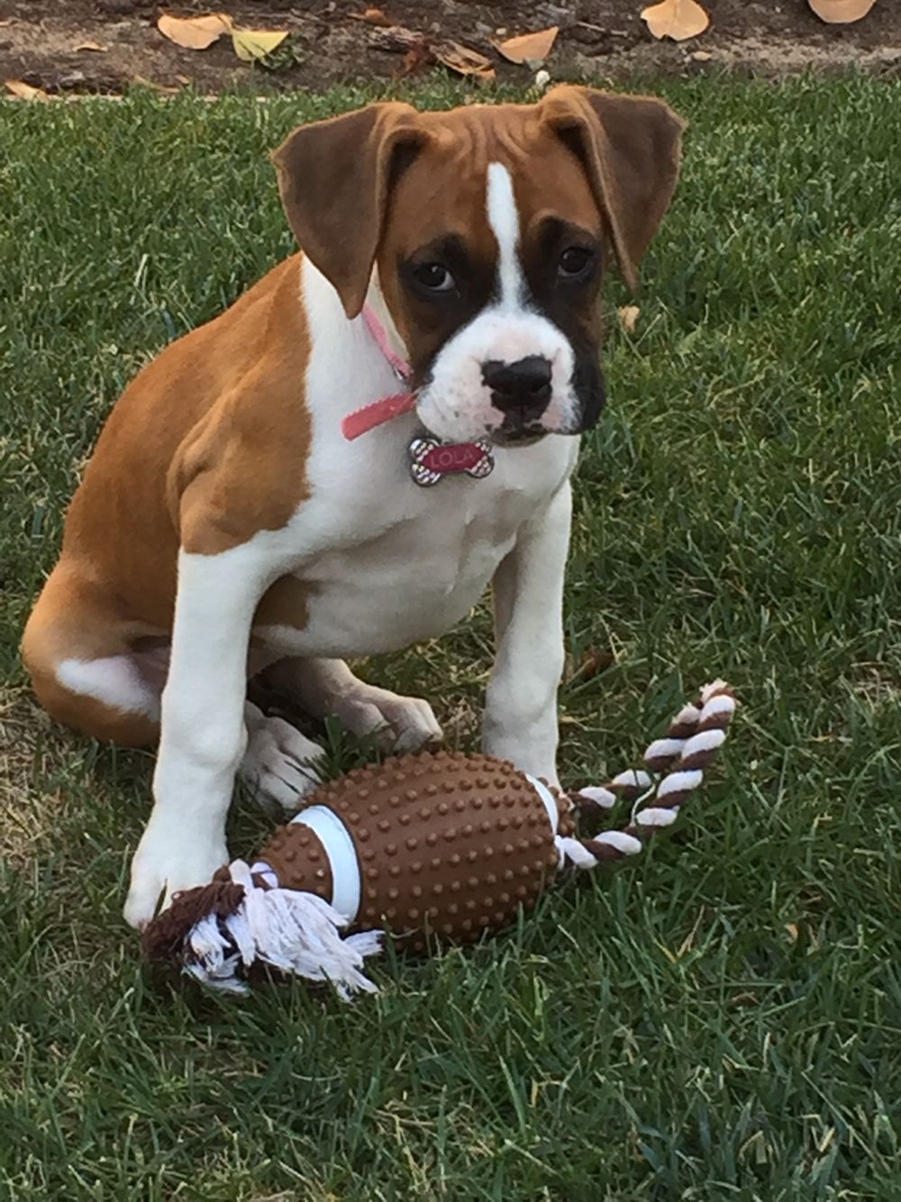 My Lola Flashy Fawn Boxer Girl Boxer Puppies Boxer Dogs Training
