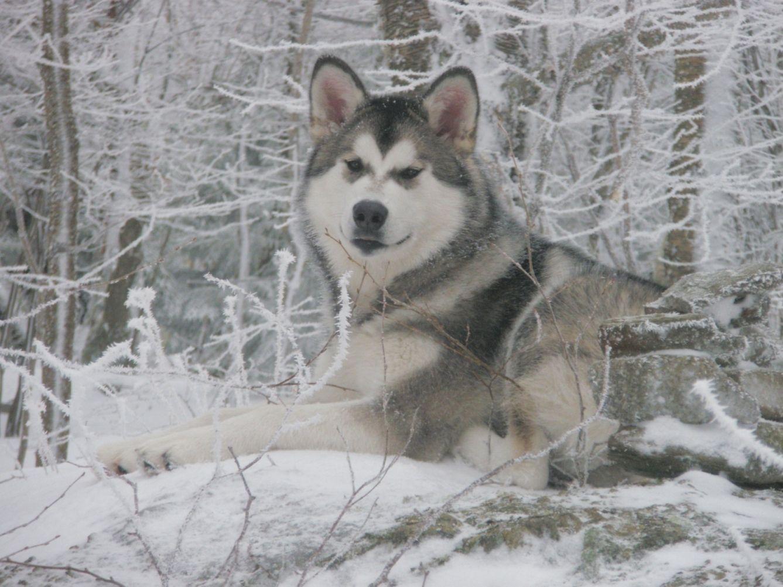 Gray And White Alaskan Malamute Malamute Puppies Alaskan