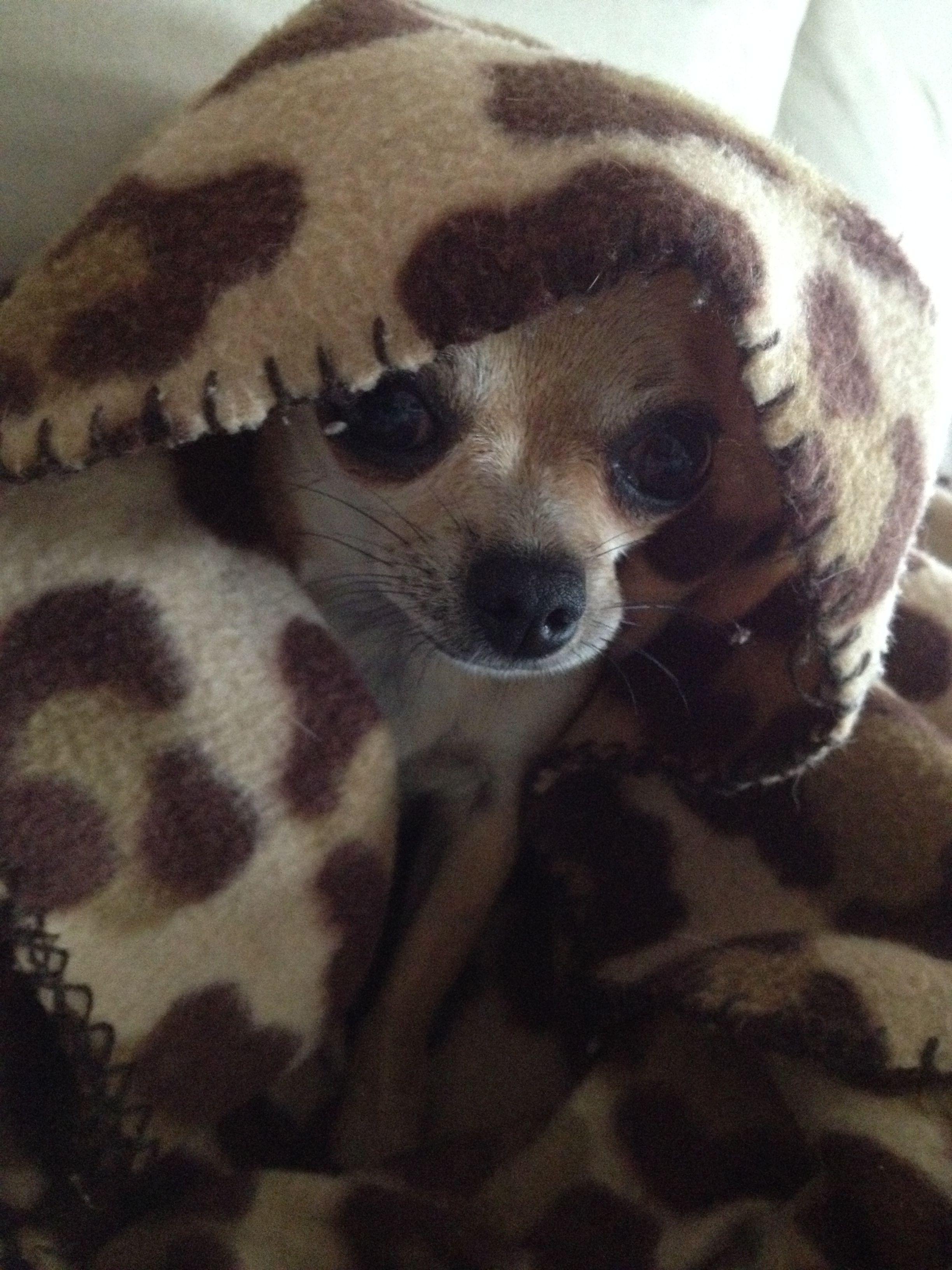 Camuflagem Cute Chihuahua Chihuahua Love Chihuahua Puppies
