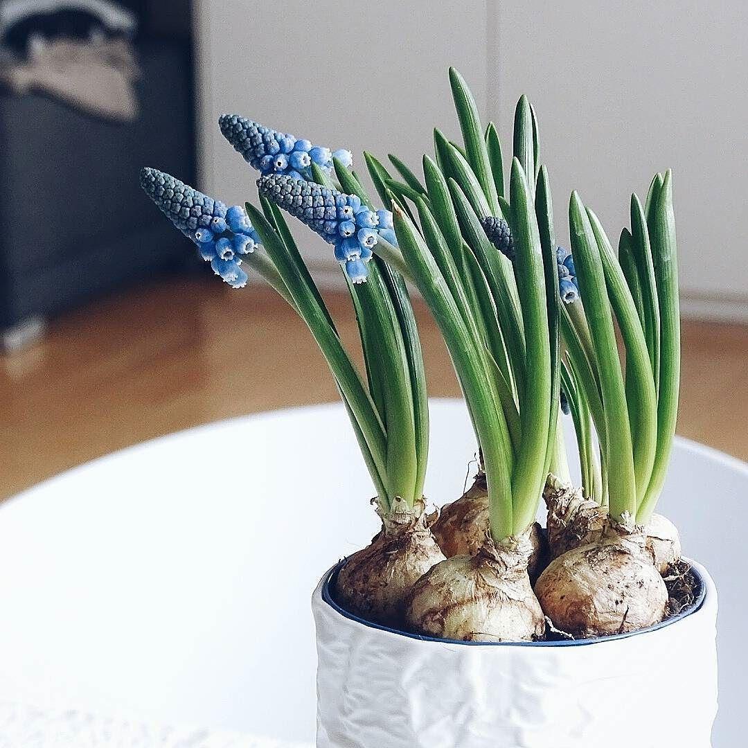 Guten Morgen und Hallo Donnerstag! Wenn jemand Sonne hat  Bitte zu mir!  Ok?  Einen schönen Tag für euch und liebste Grüße! . These little beauties on my table are also longing for some sunshine... . . #flowers #plants #muscari #perlhyazinthen #frühblüher #spring #springtime #été #frühling #feelslikespring #traubenhyazinthen #muskari #onthetable #tablesituation #zoom #zoomthelife #natural #naturalbeauties #beautiful #finditliveit #nothingisordinary_ #nothingisordinary