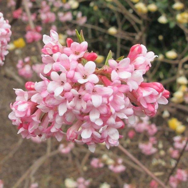 viorne d hiver viburnum bodnantense dawn fleur de couleur rose p les arbres du jardin. Black Bedroom Furniture Sets. Home Design Ideas