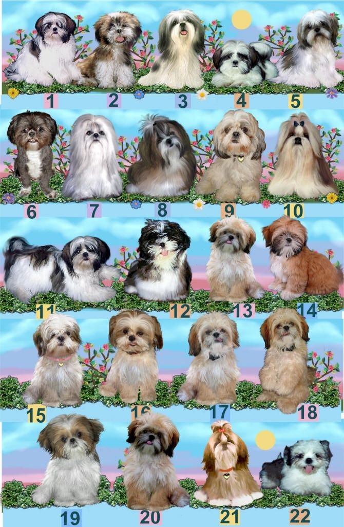 Shih Tzu Color Chart With Images Shih Tzu Puppy