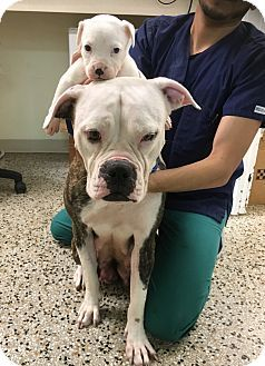 American Bulldog Puppy For Adoption In Miami Florida Lucy And