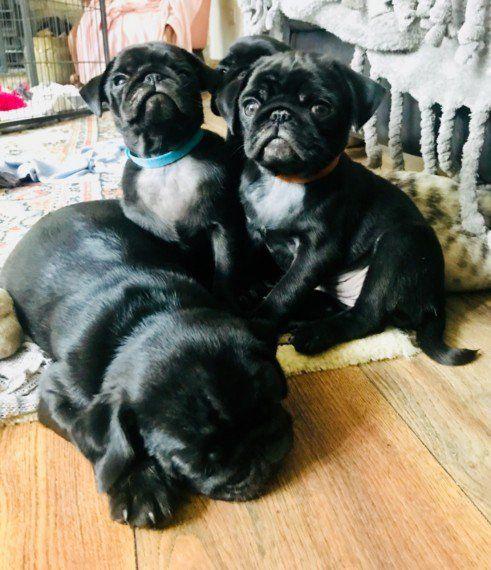Pin On Home Beautiful Pug Puppies