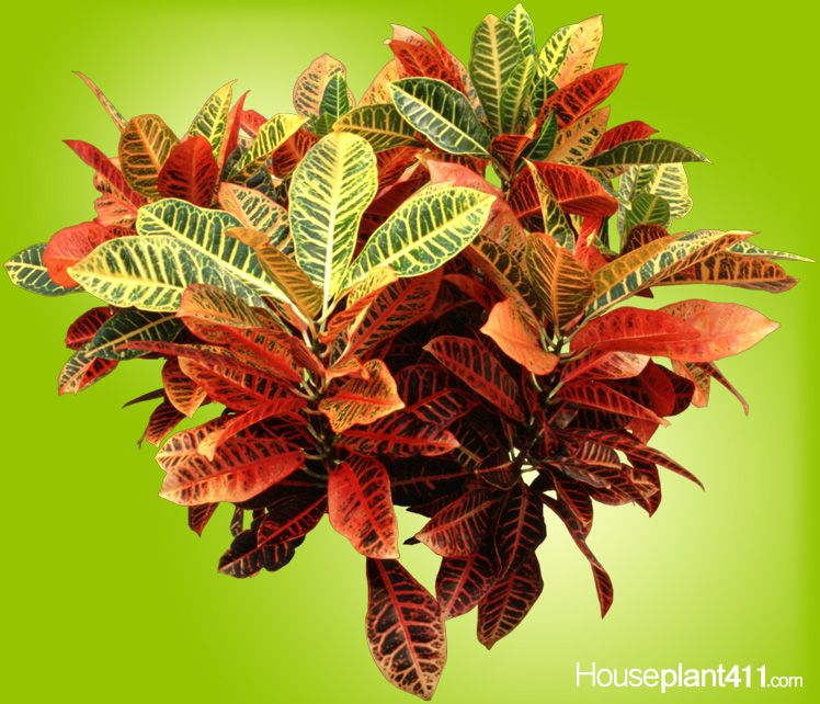 Don T Over Water Croton Houseplants Or They Will Lose 400 x 300